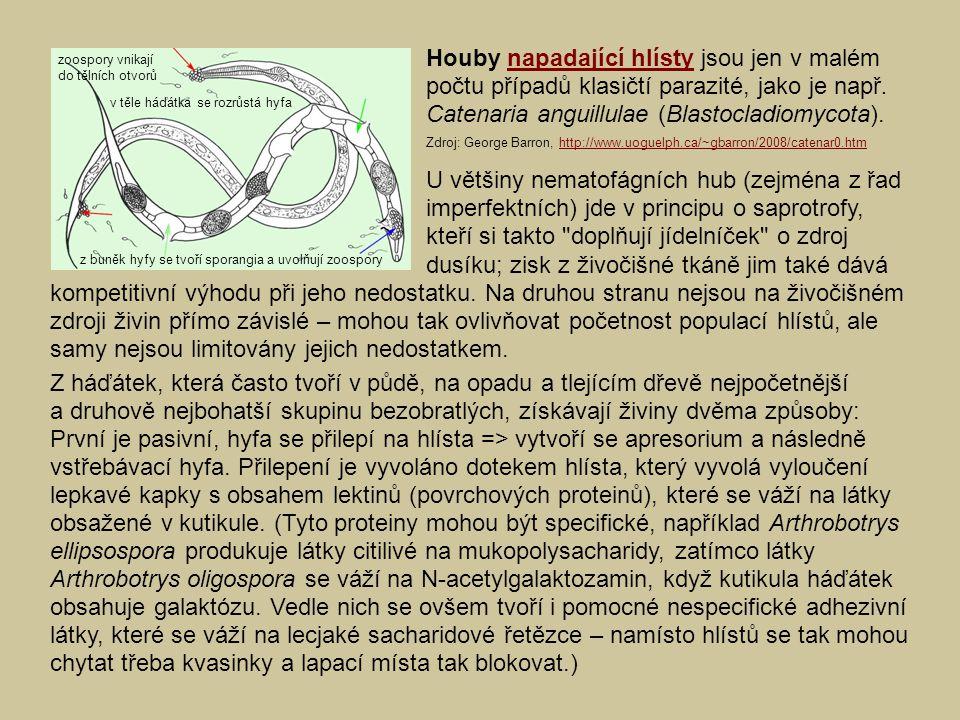 Houby napadající hlísty jsou jen v malém počtu případů klasičtí parazité, jako je např. Catenaria anguillulae (Blastocladiomycota).