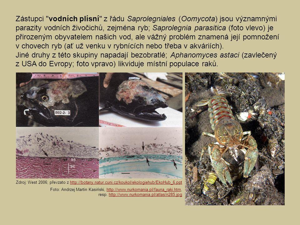 Zástupci vodních plísní z řádu Saprolegniales (Oomycota) jsou významnými parazity vodních živočichů, zejména ryb; Saprolegnia parasitica (foto vlevo) je přirozeným obyvatelem našich vod, ale vážný problém znamená její pomnožení v chovech ryb (ať už venku v rybnících nebo třeba v akváriích).