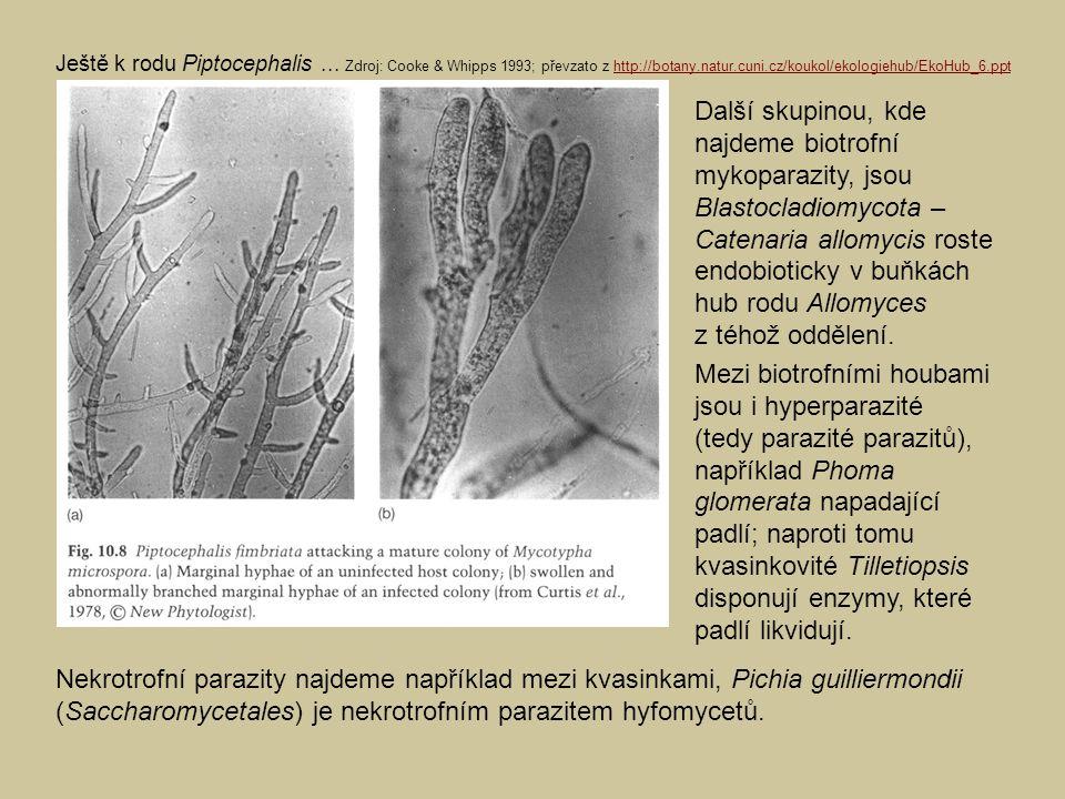 Ještě k rodu Piptocephalis
