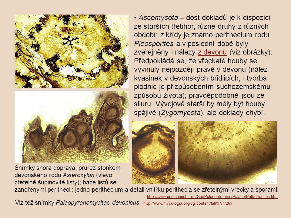 • Ascomycota – dost dokladů je k dispozici ze starších třetihor, různé druhy z různých období; z křídy je známo perithecium rodu Pleosporites a v poslední době byly zveřejněny i nálezy z devonu (viz obrázky).