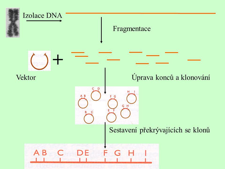 + Izolace DNA Fragmentace Vektor Úprava konců a klonování