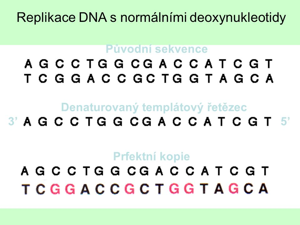 Replikace DNA s normálními deoxynukleotidy