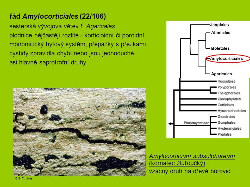 řád Amylocorticiales (22/106)