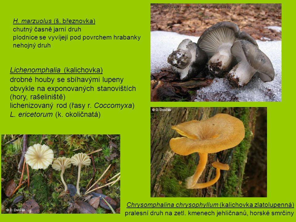 Lichenomphalia (kalichovka) drobné houby se sbíhavými lupeny