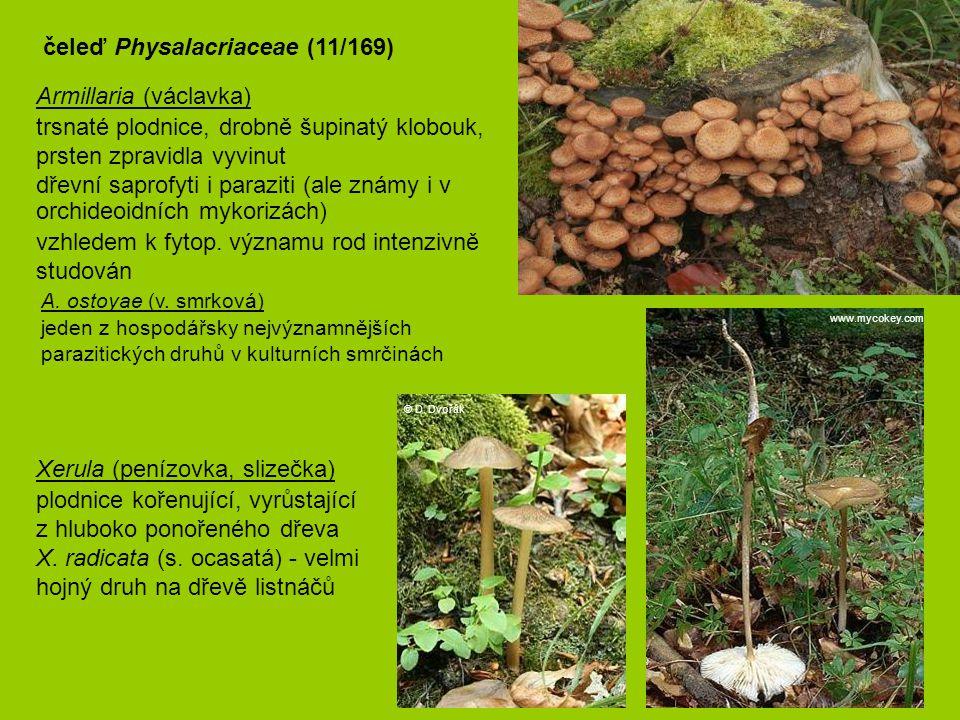 čeleď Physalacriaceae (11/169)