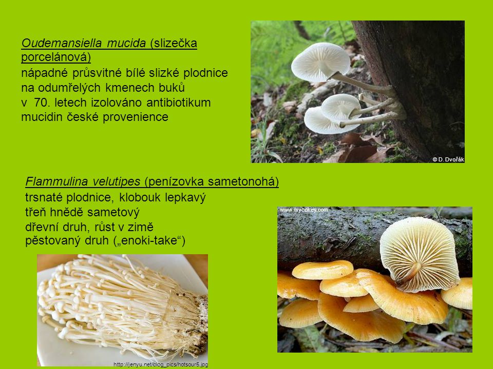 Oudemansiella mucida (slizečka porcelánová)