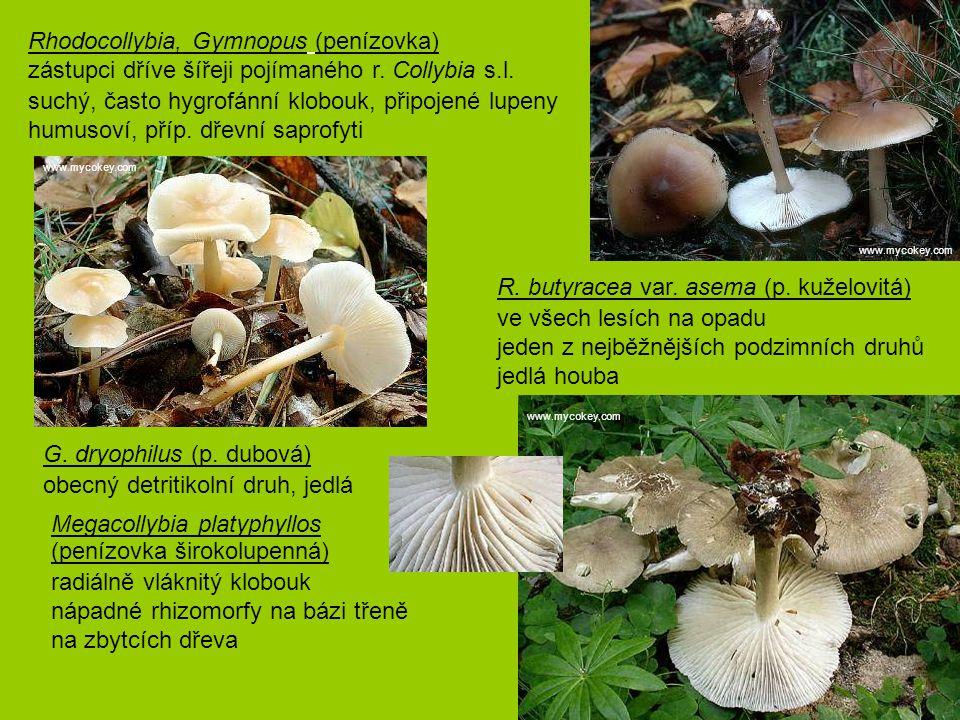 Rhodocollybia, Gymnopus (penízovka)