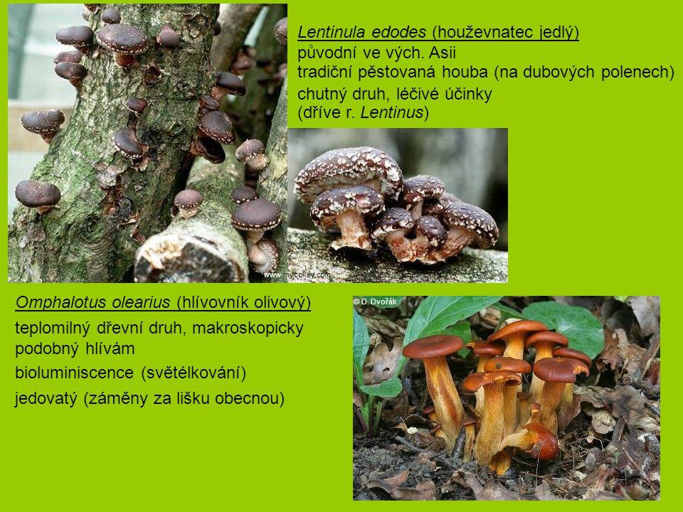 Lentinula edodes (houževnatec jedlý) původní ve vých. Asii