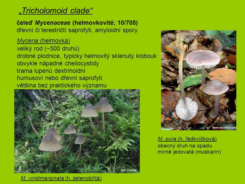 """""""Tricholomoid clade čeleď Mycenaceae (helmovkovité; 10/705) dřevní či terestričtí saprofyti, amyloidní spory."""