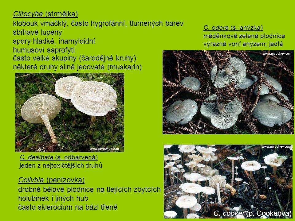 Clitocybe (strmělka)