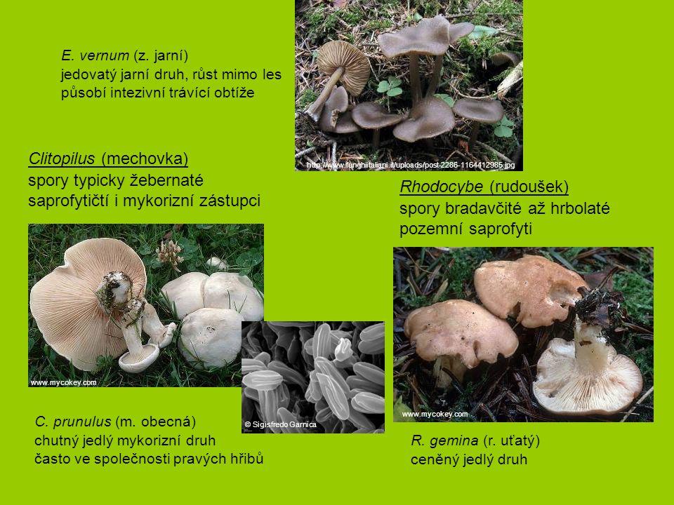 Clitopilus (mechovka) spory typicky žebernaté