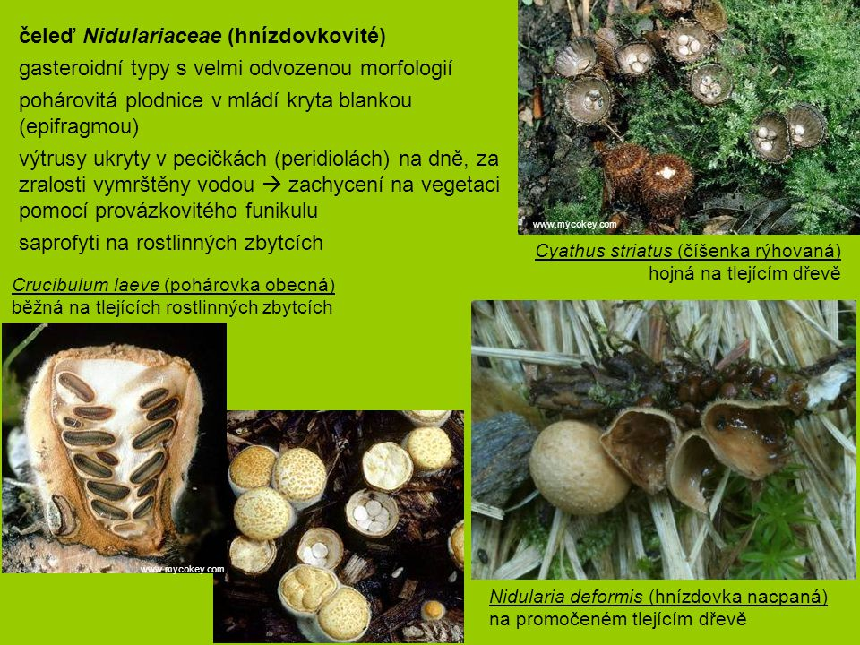 čeleď Nidulariaceae (hnízdovkovité)