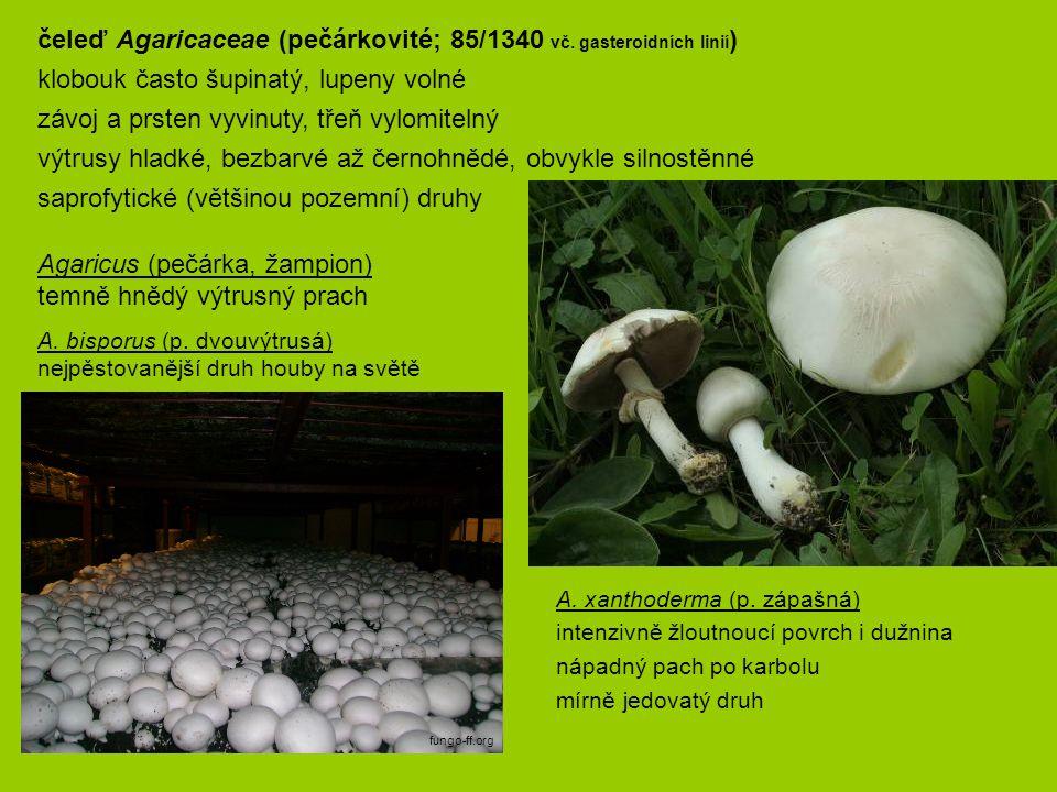 čeleď Agaricaceae (pečárkovité; 85/1340 vč. gasteroidních linií)