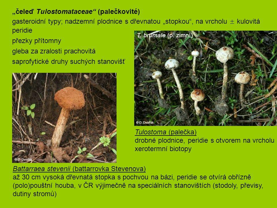 """čeleď Tulostomataceae (palečkovité)"