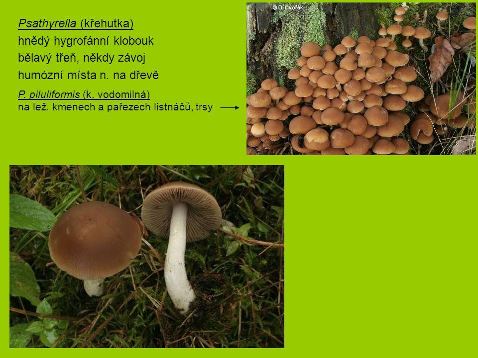 Psathyrella (křehutka) hnědý hygrofánní klobouk