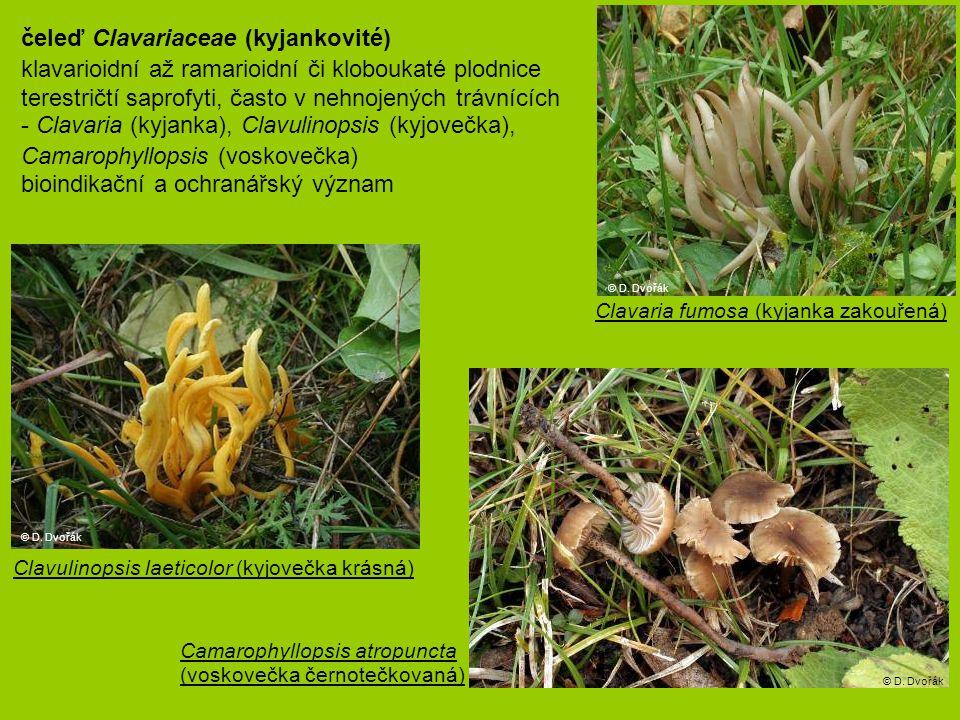 čeleď Clavariaceae (kyjankovité)