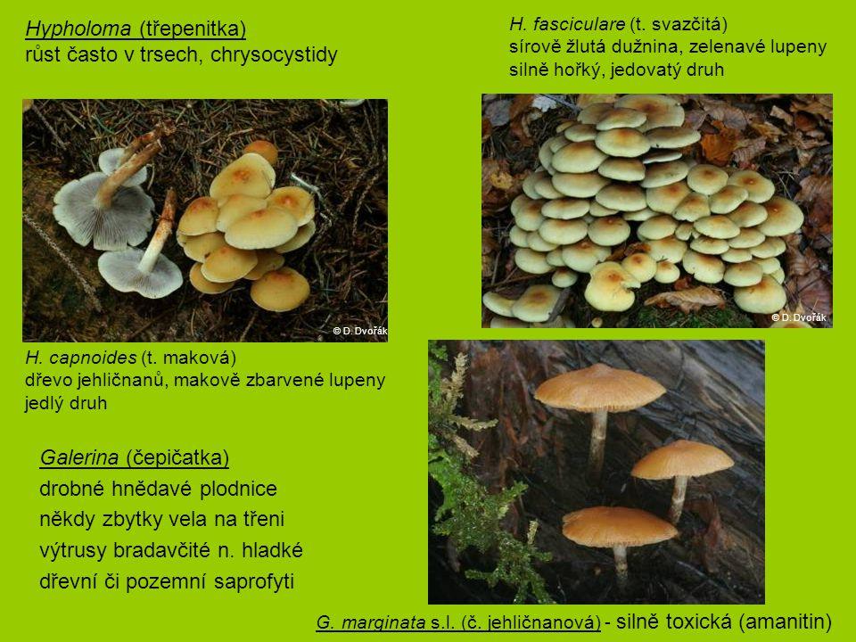 Hypholoma (třepenitka) růst často v trsech, chrysocystidy
