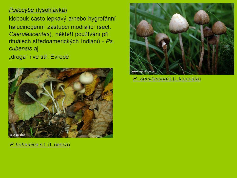Psilocybe (lysohlávka) klobouk často lepkavý a/nebo hygrofánní