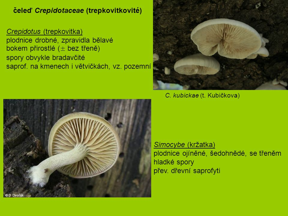 čeleď Crepidotaceae (trepkovitkovité)