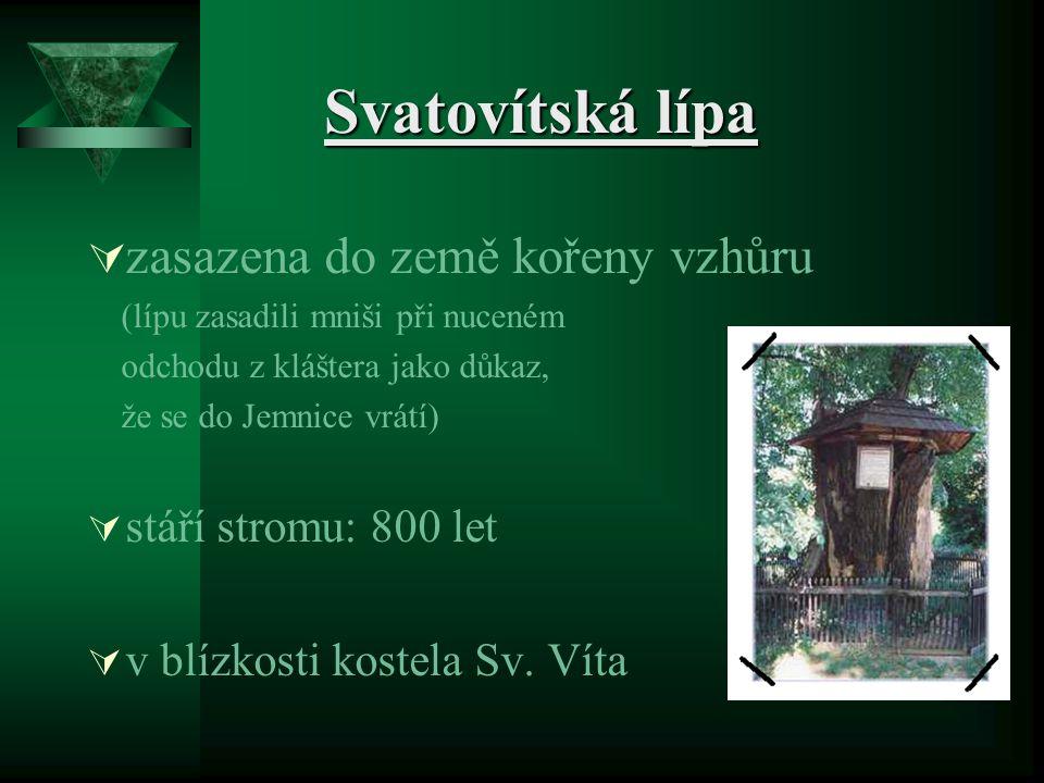Svatovítská lípa zasazena do země kořeny vzhůru stáří stromu: 800 let