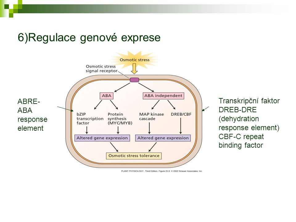 6)Regulace genové exprese