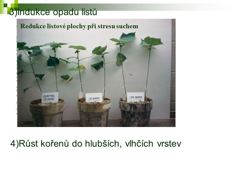 4)Růst kořenů do hlubších, vlhčích vrstev