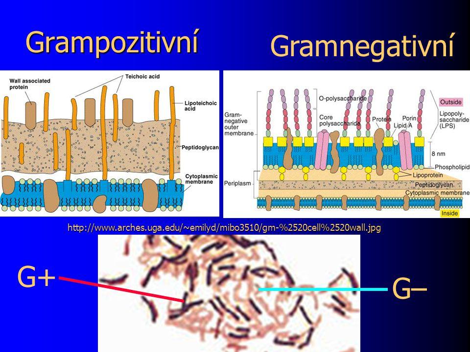 Grampozitivní Gramnegativní G+ G–