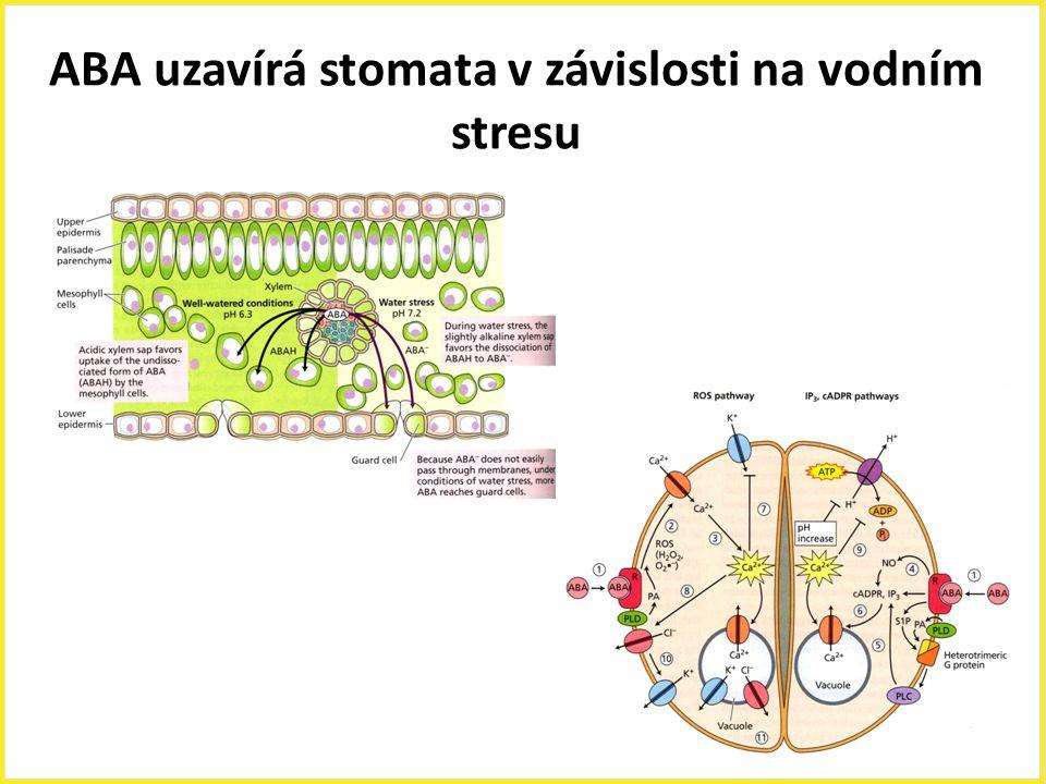 ABA uzavírá stomata v závislosti na vodním stresu