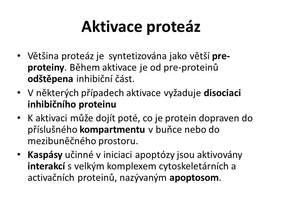 Aktivace proteáz Většina proteáz je syntetizována jako větší pre-proteiny. Během aktivace je od pre-proteinů odštěpena inhibiční část.