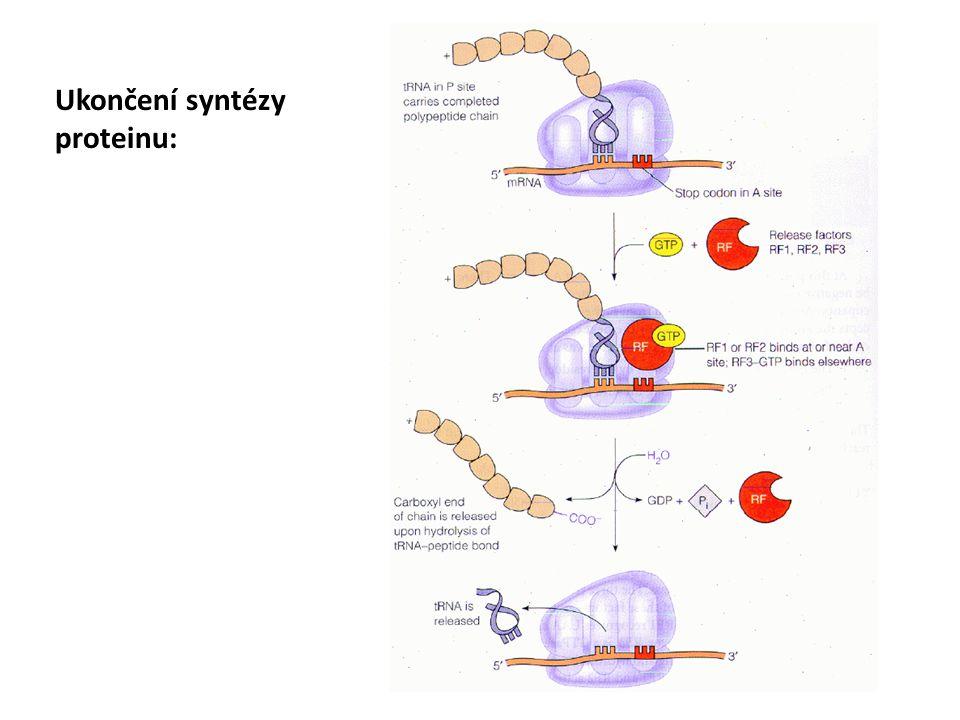 Ukončení syntézy proteinu: