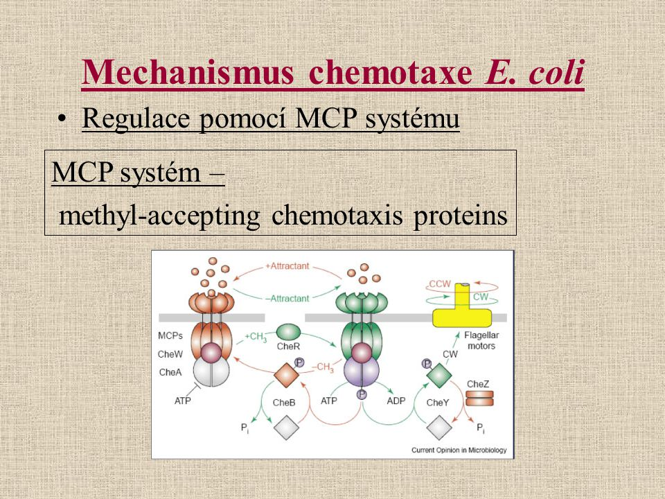 Mechanismus chemotaxe E. coli