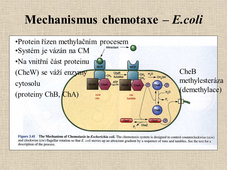 Mechanismus chemotaxe – E.coli