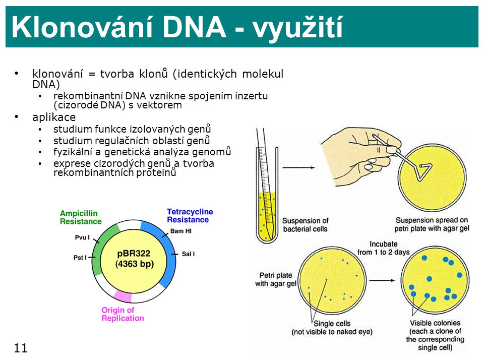 Klonování DNA - využití