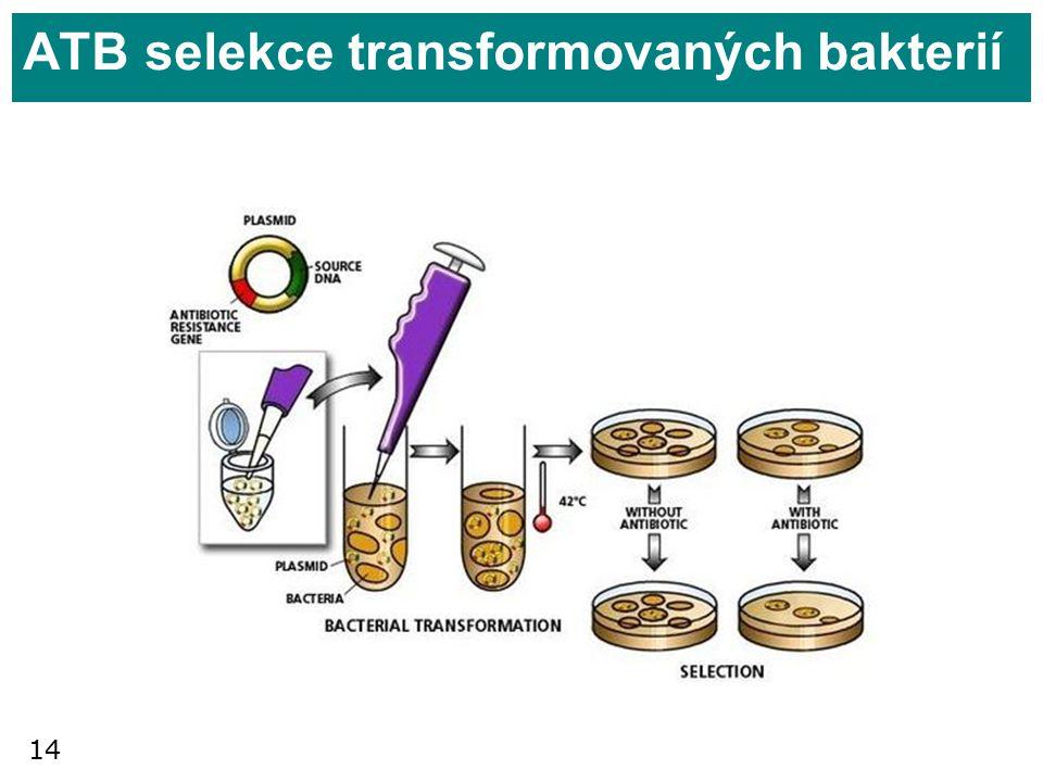 ATB selekce transformovaných bakterií