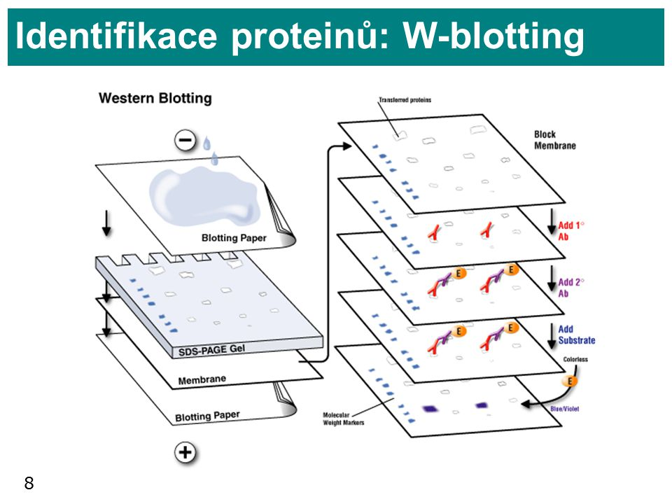 Identifikace proteinů: W-blotting