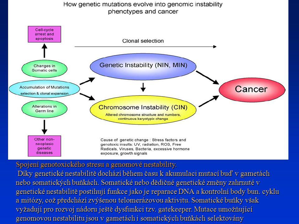 Spojení genotoxického stresu a genomové nestability.