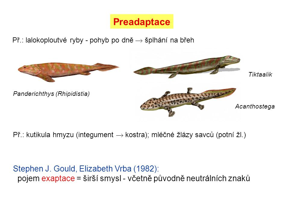 Preadaptace Př.: lalokoploutvé ryby - pohyb po dně  šplhání na břeh. Tiktaalik. Panderichthys (Rhipidistia)