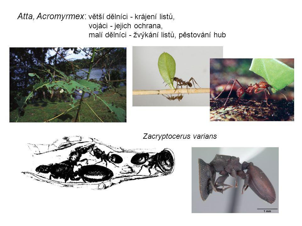 Atta, Acromyrmex: větší dělníci - krájení listů,