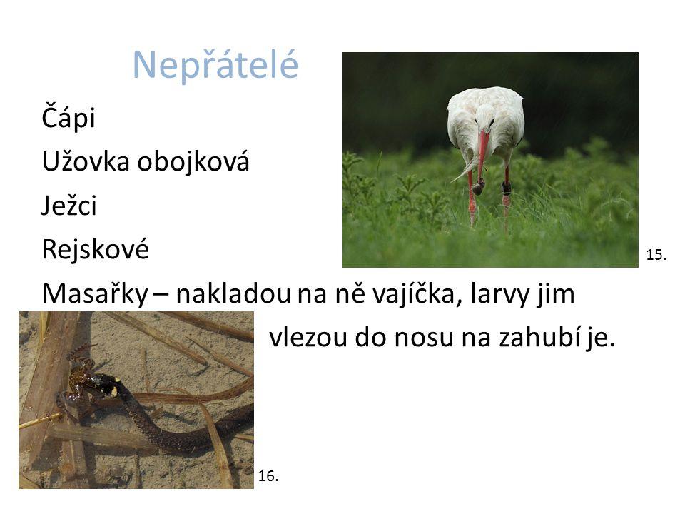 Nepřátelé Čápi Užovka obojková Ježci Rejskové Masařky – nakladou na ně vajíčka, larvy jim vlezou do nosu na zahubí je.