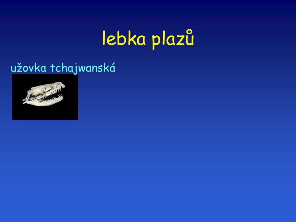 lebka plazů užovka tchajwanská