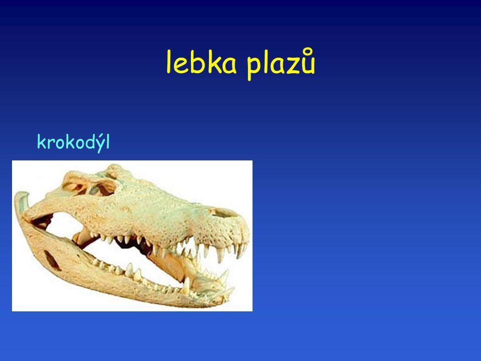 lebka plazů krokodýl