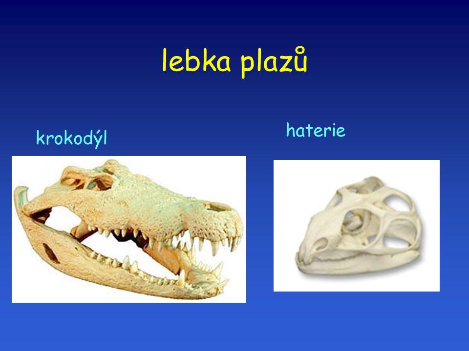 lebka plazů haterie krokodýl