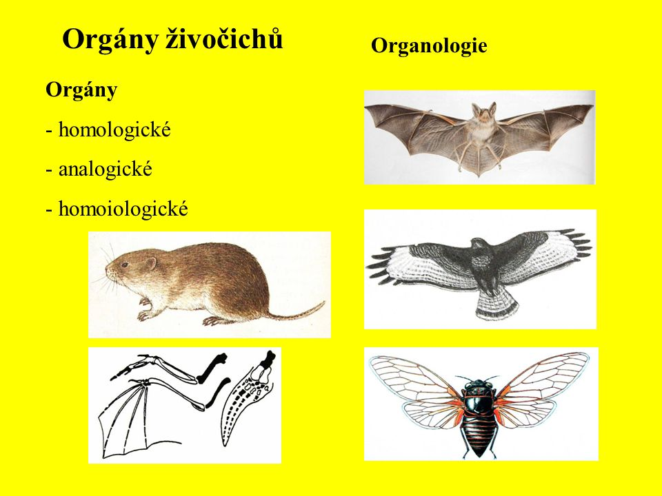Orgány živočichů Organologie Orgány - homologické - analogické