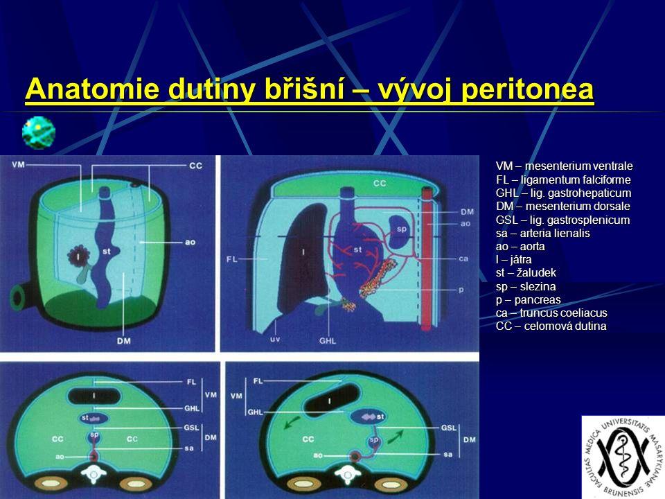 Anatomie dutiny břišní – vývoj peritonea