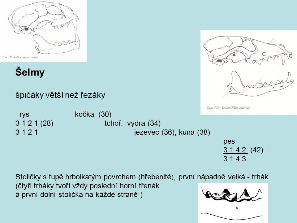 Šelmy špičáky větší než řezáky rys kočka (30)