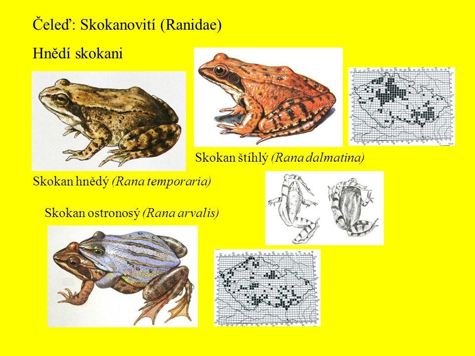 Čeleď: Skokanovití (Ranidae) Hnědí skokani
