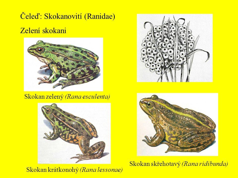 Čeleď: Skokanovití (Ranidae) Zelení skokani