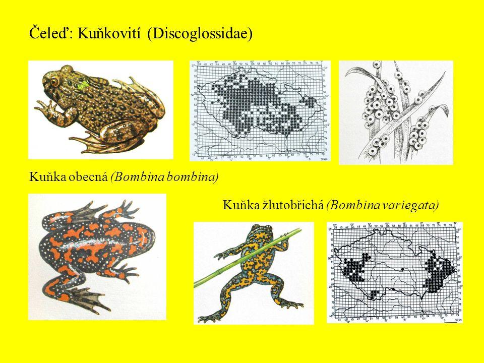 Čeleď: Kuňkovití (Discoglossidae)
