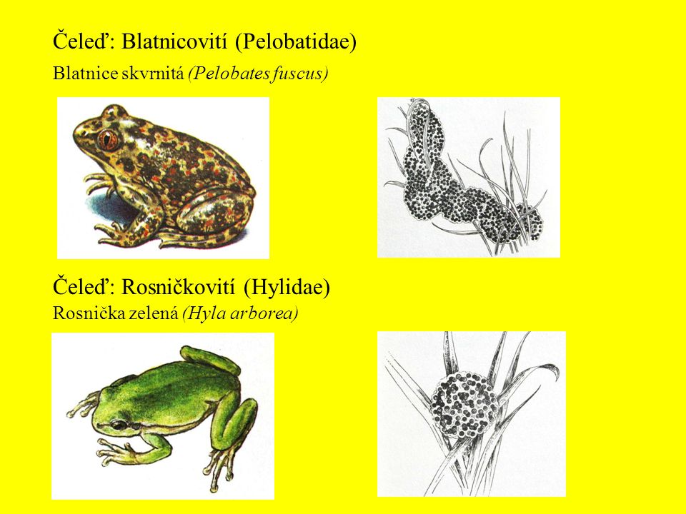Čeleď: Blatnicovití (Pelobatidae)