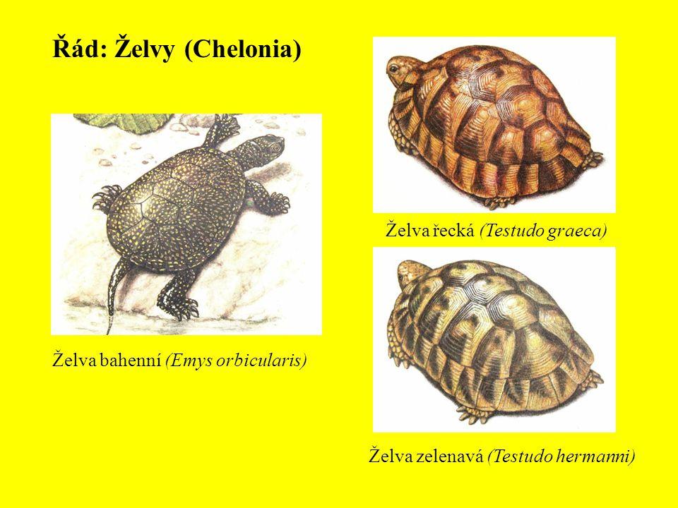 Řád: Želvy (Chelonia) Želva řecká (Testudo graeca)